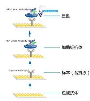 服务说明: 酶联免疫吸附实验(Enzyme-Linked Immunosorbnent Assay,ELISA)于1971年由Engvall和Perlmann创建成功,成为继免疫荧光和放射免疫之后又一具有重大意义和深远影响的免疫技术。ELISA技术利用蛋白和聚苯乙烯表面疏水吸附的特性,将抗原-抗体特异性反应固定于固相载体表面进行,同时结合酶对底物的高效催化作用而产生高灵敏度的检测效果。ELISA技术的实验基础是抗原或抗体的固相化及抗原或抗体的酶标记。ELISA实验基本步骤为:在测定时,受检标本(测定其中的